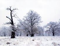 Vecchi alberi di quercia in inverno   Immagini Stock