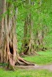 Vecchi alberi di quercia vigorosi fotografie stock
