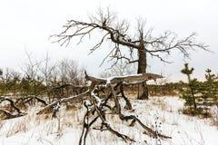 Vecchi alberi guasti Immagine Stock