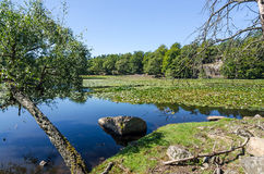 Vecchi alberi su una costa del lago Immagini Stock