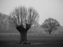 Vecchi alberi su una mattina nebbiosa Immagine Stock Libera da Diritti