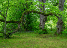 Vecchi alberi in una foresta Immagine Stock Libera da Diritti