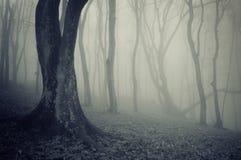 Vecchi alberi in una foresta con nebbia fotografia stock libera da diritti