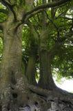Vecchi alberi, vecchie radici fotografie stock