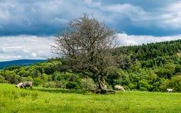 Vecchi albero ed agnelli sull'azienda agricola Fotografie Stock Libere da Diritti