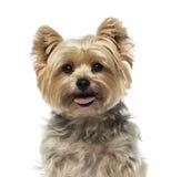 4 vecchi anni Yorkshire del terrier Immagine Stock Libera da Diritti