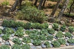 Vecchi cactus dei pulcini e delle galline in un giardino Immagini Stock