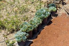 Vecchi cactus dei pulcini e delle galline in vasi per la decorazione del giardino Immagine Stock Libera da Diritti