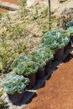 Vecchi cactus dei pulcini e delle galline in vasi per la decorazione del giardino Immagine Stock