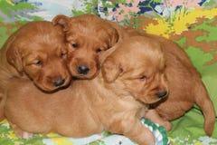 Vecchi cuccioli di tre settimane di golden retriever del trio insieme Fotografia Stock Libera da Diritti
