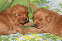 Vecchi cuccioli di tre settimane di golden retriever insieme Fotografia Stock