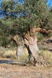 Vecchi di olivo Fotografia Stock