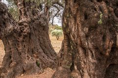 Vecchi di olivo magici, oliveto, botanica fotografie stock