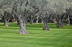 Vecchi di olivo Mediterranei in frutteto Fotografia Stock Libera da Diritti