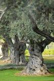 Vecchi di olivo Mediterranei in frutteto Immagine Stock