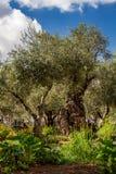 Vecchi di olivo nel giardino di Gethsemane Immagine Stock Libera da Diritti