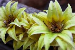 Vecchi fiori artificiali gialli Fotografie Stock