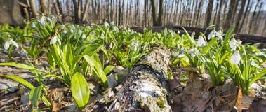 Vecchi legname e bucaneve Fotografia Stock