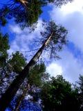 Vecchi pini Immagini Stock Libere da Diritti