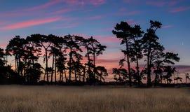 Vecchi pini del tramonto Fotografie Stock Libere da Diritti