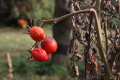 Vecchi pomodori Fotografia Stock Libera da Diritti