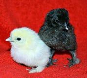 Vecchi pulcini di cinque giorni del bambino Fotografie Stock Libere da Diritti