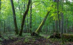 Vecchi quercia e carpino nella fine dell'estate naturale Immagini Stock