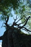 Vecchi quercia e cielo blu asciutti Fotografia Stock Libera da Diritti