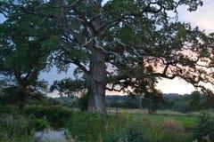 Vecchi quercia e fiume Immagini Stock