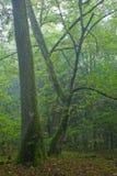 Vecchi quercia e hornbeam fotografia stock