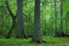 Vecchi quercia e hornbeam immagine stock