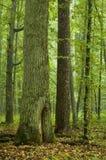 Vecchi quercia e pino Fotografia Stock