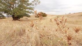 Vecchi tronco, radici e rami di albero della tremula stock footage