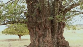Vecchi tronco, radici e rami di albero della tremula archivi video