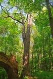 Vecchia alta quercia Immagine Stock Libera da Diritti