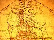 Vecchia anatomia immagini stock