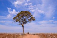 Vecchia annata tedesca campervan ed albero in mezzo ad un campo del cotone in campo Verde, Mato Grosso, Brasile fotografie stock
