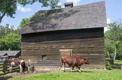 Vecchia azienda lattiera di Wisconsin, mucche Fotografia Stock