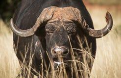 Vecchia Buffalo Immagine Stock Libera da Diritti