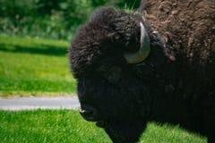 Vecchia Buffalo del toro immagini stock