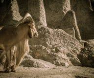Vecchia capra Fotografia Stock Libera da Diritti