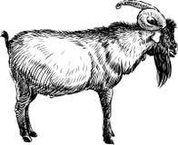 Vecchia capra illustrazione vettoriale