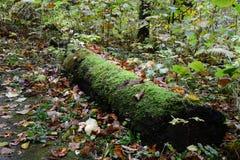 Vecchia connessione muscosa la foresta fotografia stock