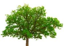 Vecchia corona della quercia su fondo bianco Fotografie Stock