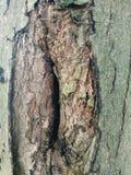 Vecchia corteccia invecchiata su un albero Immagini Stock Libere da Diritti