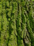 Vecchia corteccia verde Fotografia Stock