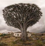 Vecchia dracaena gigante con la casa abbandonata Fotografie Stock