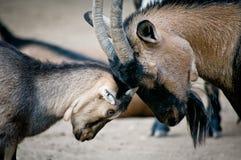 Vecchia e giovane capra Fotografie Stock