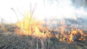 Vecchia erba asciutta bruciante, concetto del pericolo della foresta stock footage