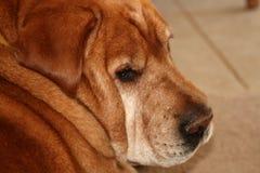 Vecchia fine del cane in su Fotografia Stock Libera da Diritti